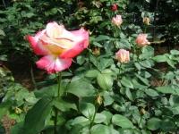 2018-06-09花巻薔薇園229