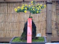 2018-11-05中尊寺菊祭り090