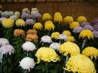 2018-11-05中尊寺菊祭り0101