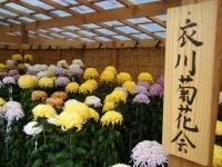 2018-11-05中尊寺菊祭り0100