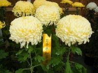 2018-11-05中尊寺菊祭り0109