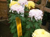 2018-11-05中尊寺菊祭り0145