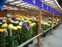 2018-11-05中尊寺菊祭り0142