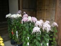 2018-11-05中尊寺菊祭り0152