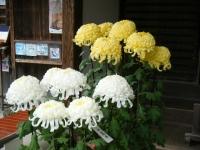 2018-11-05中尊寺菊祭り0150
