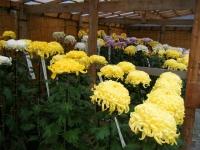 2018-11-05中尊寺菊祭り0147