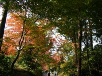 2018-11-05中尊寺菊祭り0168
