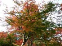 2018-11-05中尊寺菊祭り0177