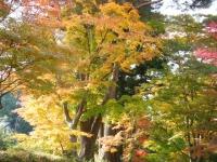 2018-11-05中尊寺菊祭り0187