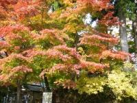 2018-11-05中尊寺菊祭り0193