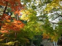 2018-11-05中尊寺菊祭り0191