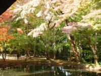 2018-11-05中尊寺菊祭り0207