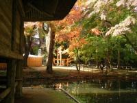 2018-11-05中尊寺菊祭り0208
