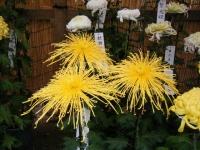 2018-11-05中尊寺菊祭り0218