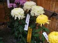 2018-11-05中尊寺菊祭り0215