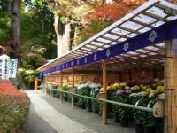 2018-11-05中尊寺菊祭り0213