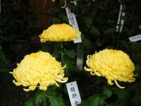 2018-11-05中尊寺菊祭り0219