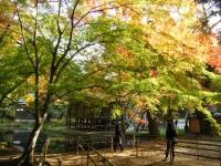 2018-11-05中尊寺菊祭り0261
