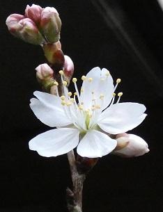 3 桜の花