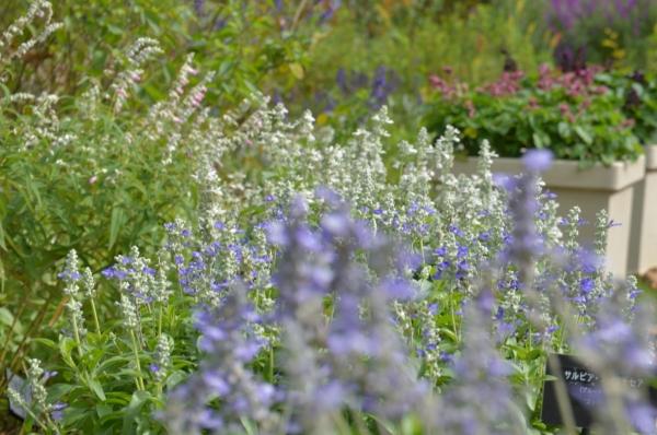 花菜ガーデン17
