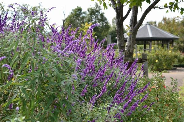花菜ガーデン25