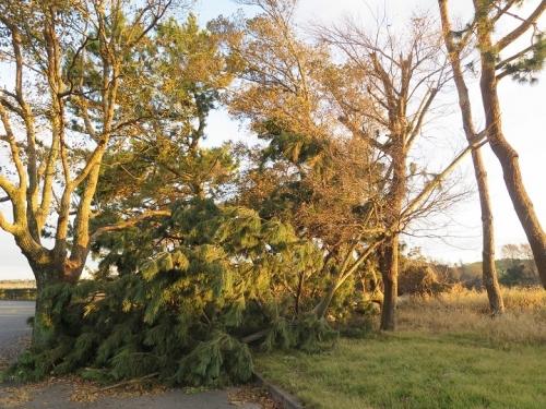 海浜公園 台風で倒れた木