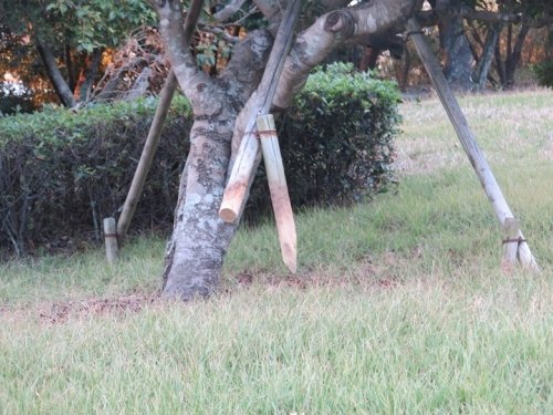 海浜公園 台風で支えが抜けた木