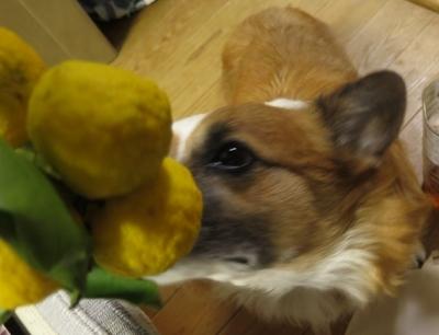 頂いた柚子といぬ
