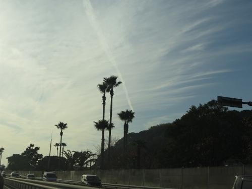 偽のカリフォルニア ヤシの木