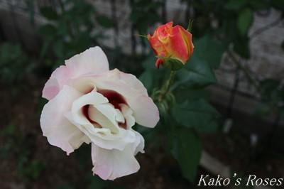 s-IMG_0594kako.jpg