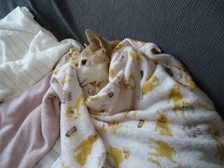 毛布くるまる2