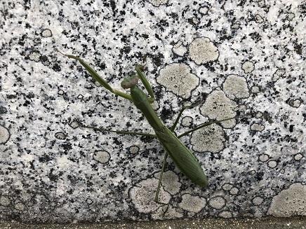 10312018 黒瀬墓参 カマキリ S