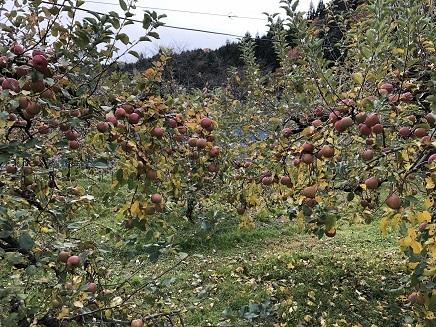 11162018 帝釈峡リンゴ園 S5