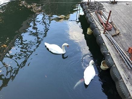 11152018 神龍湖遊覧船乗場白鳥 S2