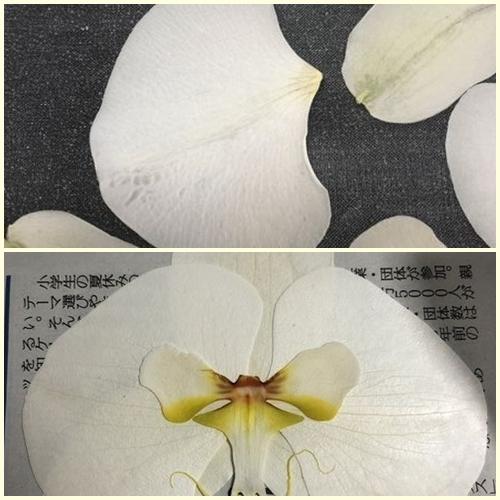 page胡蝶蘭作り