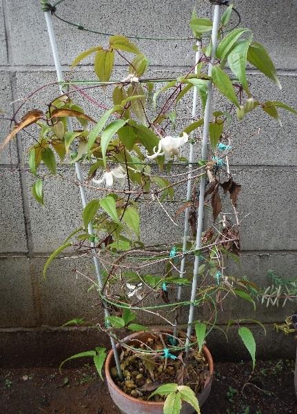 Clematis_urophylla_White_Angel5-2019.jpg