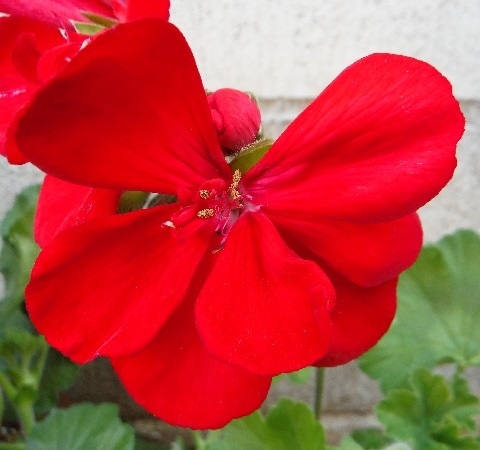 Pelargonium-Champion3-2019.jpg