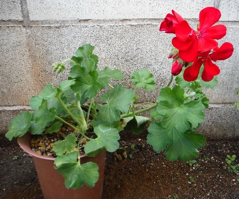 Pelargonium-Champion4-2019.jpg