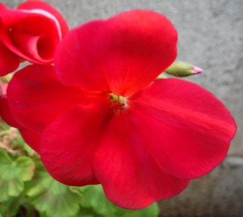 Pelargonium-little_heart_red1-2019.jpg