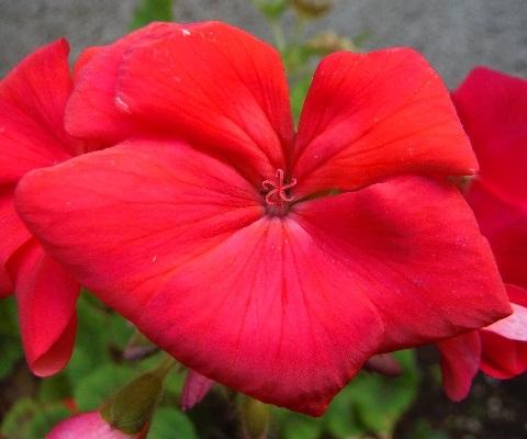 Pelargonium-little_heart_red2-2019.jpg