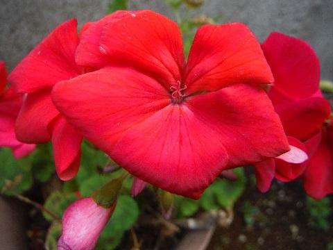 Pelargonium-little_heart_red3-2019.jpg