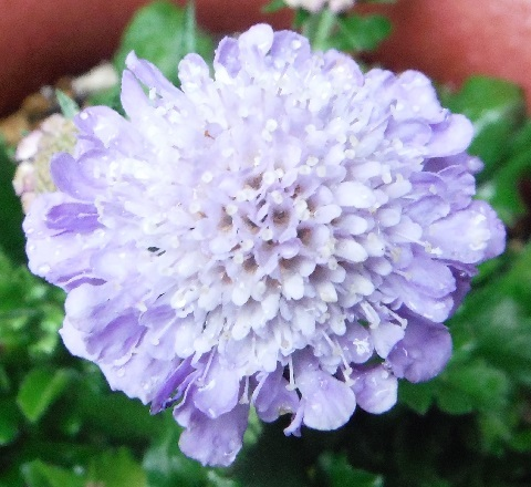 Scabiosa_blueballoon1-2017.jpg