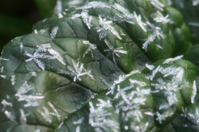 ちじみほうれん草と霜の結晶-03