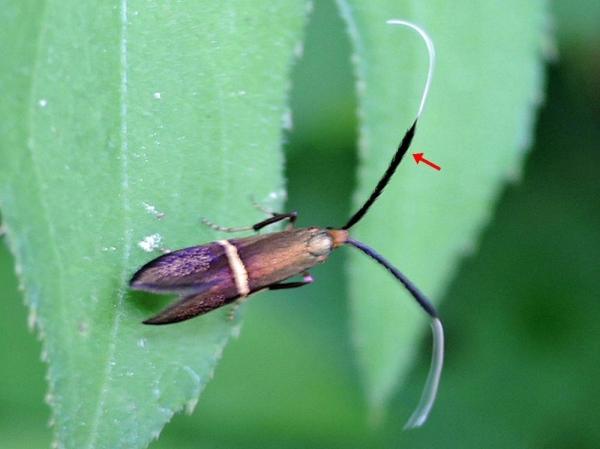 ホソオビヒゲナガ雌