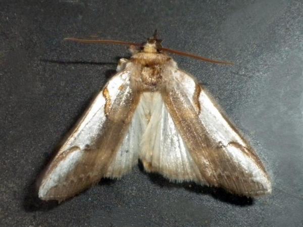 サカハチトガリバ