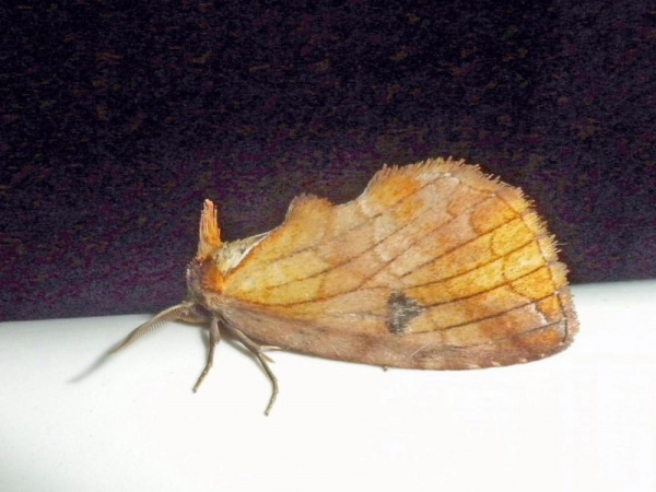 ギンボシシャチホコ雌