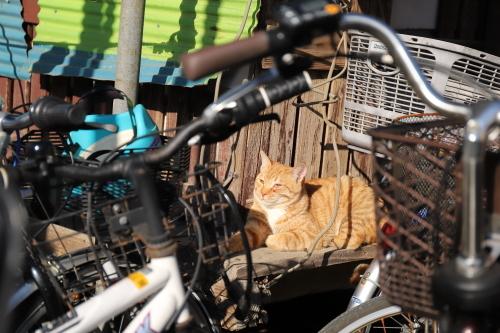 自転車茶トラ