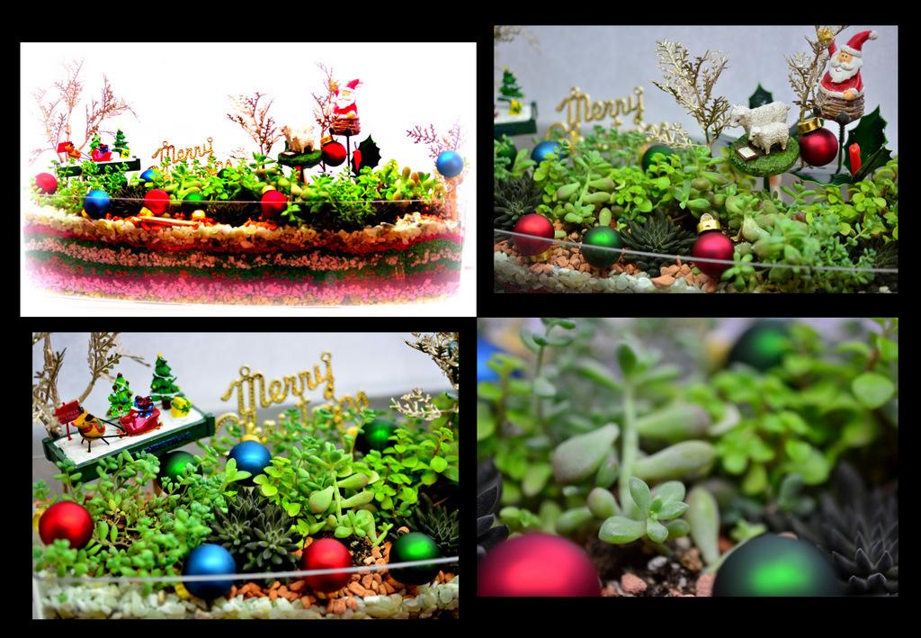Sedum Christmas Garden