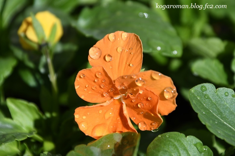 よく咲くスミレ種まき日記(5)2