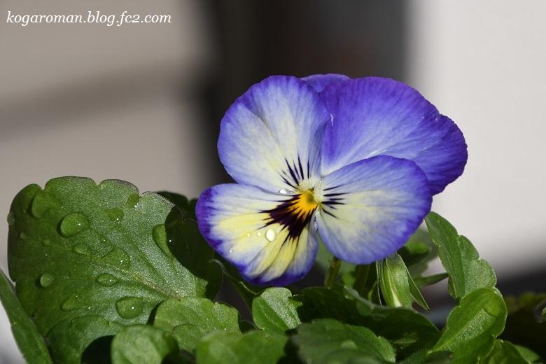 よく咲くスミレ種まき日記(5)3